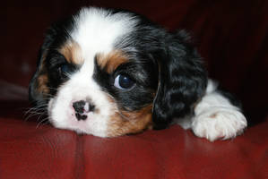 peanut the cavalier puppy by angelsmommy