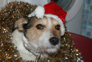 xmas pip my cattle dog by angelsmommy