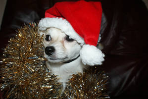 chihuahua- ready for xmas by angelsmommy