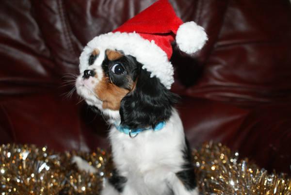 peanut christmas cavalier by angelsmommy