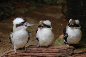Kookaburra Stock by Chunga-Stock