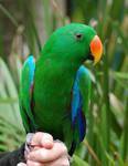 Eclectus Parrot Stock