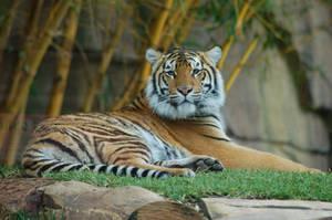 Tiger 4 by Chunga-Stock