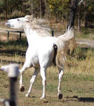Horse stock - Arab