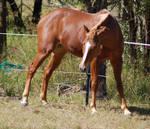 Horse stock - TB6
