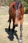Horse stock - WB front on