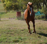 Horse stock - gallop front on