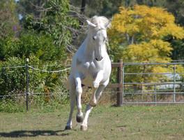 Horse stock - Arab rear-canter by Chunga-Stock