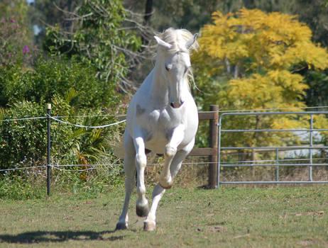 Horse stock - Arab rear-canter