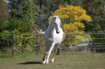 Horse stock - Canter arab 3