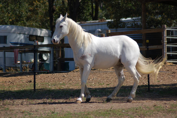 Ficha de Lucero  Horse_stock____Tucked_under_by_Chunga_Stock