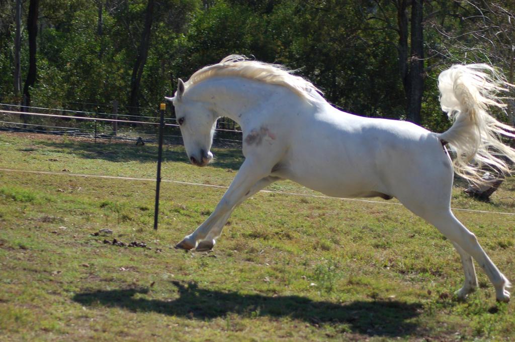 Ficha de Lucero  Horse_stock___buck___lunge_by_Chunga_Stock