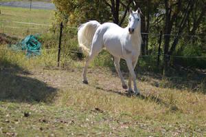 Horse stock - Arab turning
