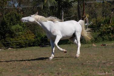 Horse stock - Arab head flick by Chunga-Stock