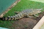 2 Crocodile stock
