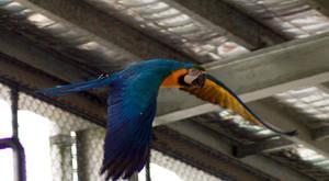 11 Macaw