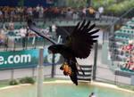 2 Black cockatoo