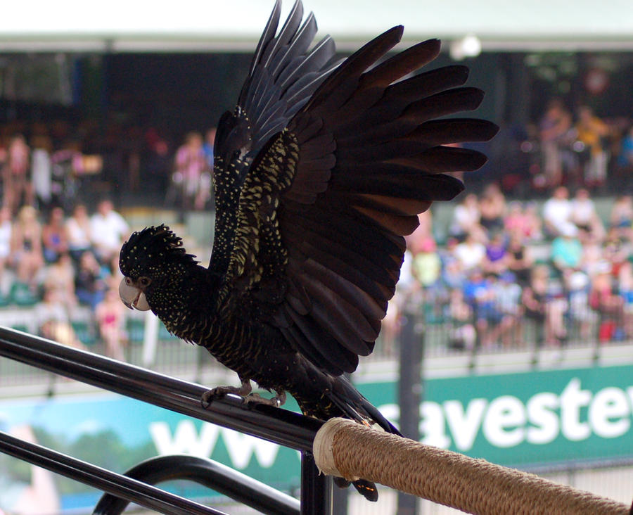3 Black cockatoo - wing stock by Chunga-Stock