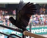 3 Black cockatoo - wing stock