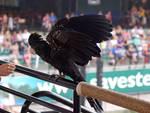 3 Black cockatoo- wing stock