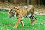 17 tiger walking