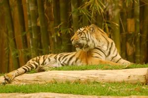 32 Tiger by Chunga-Stock