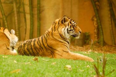 37 Tiger by Chunga-Stock