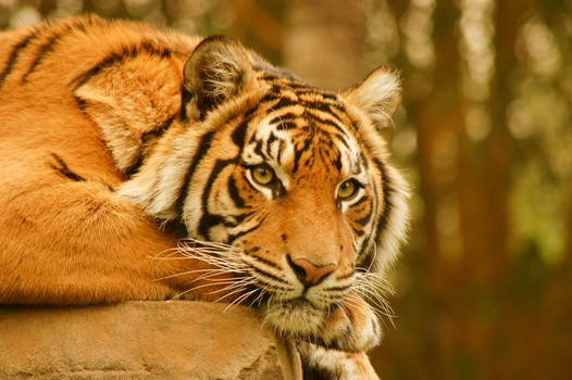 47 Tiger staring into you