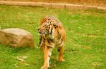 64 Tiger stock