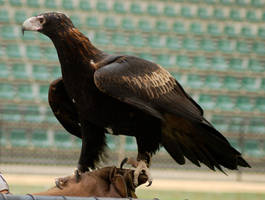 7 Eagle stock by Chunga-Stock