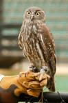 2 Owl stock