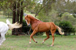 powerful canter lunge TB
