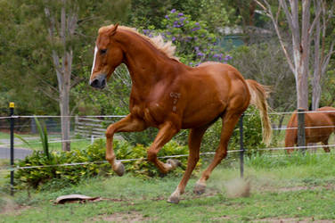 Angry face galloping TB by Chunga-Stock