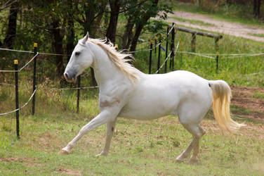 Arabian leg out by Chunga-Stock