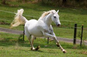 Arabian Galloping - love this