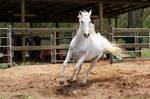 Arabian rear jump -  front on