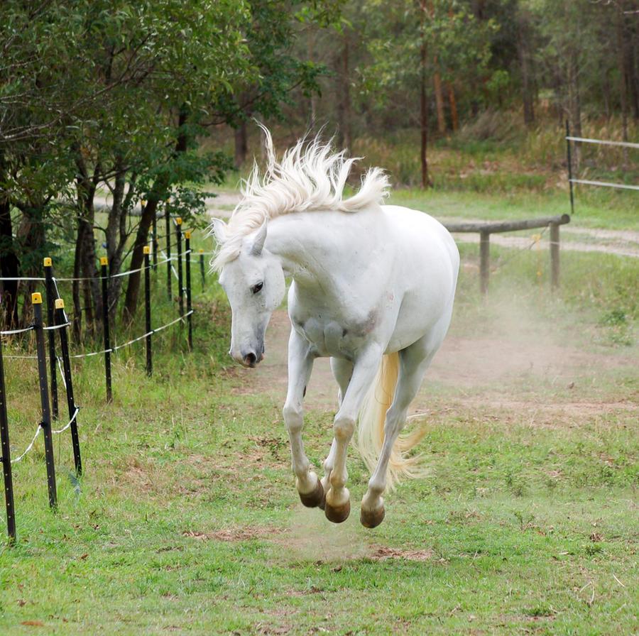 Arabian Bucking front on by Chunga-Stock