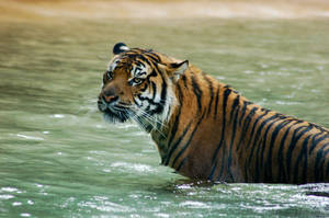 Tiger sitting in water. by Chunga-Stock