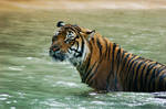 Tiger sitting in water.