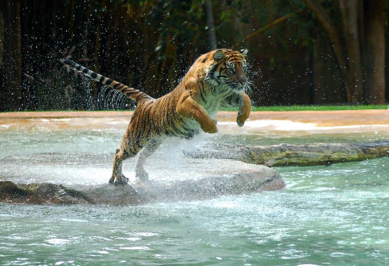 Tiger - A powerful animal by Chunga-Stock