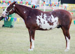 Paint standing square halter