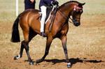 Show bay pony ridden