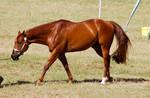 Quarter horse chestnut halter