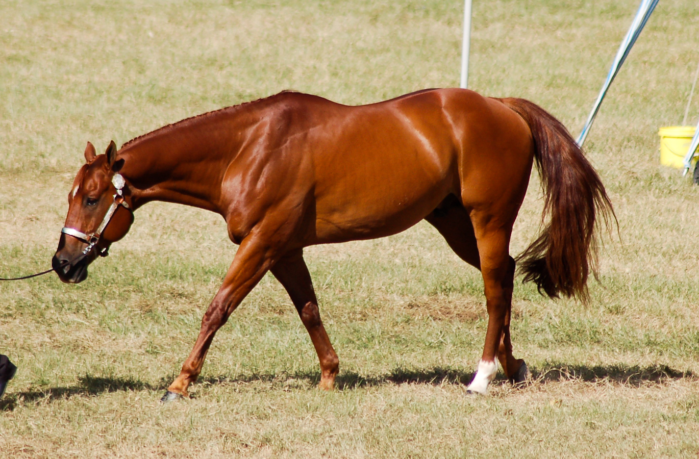 American Quarter Horse   Chestnuts and Dilutes   Pinterest ... - photo#12