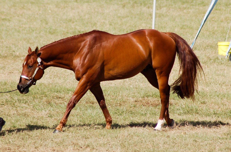 Chestnut American Quarter Horse - photo#33