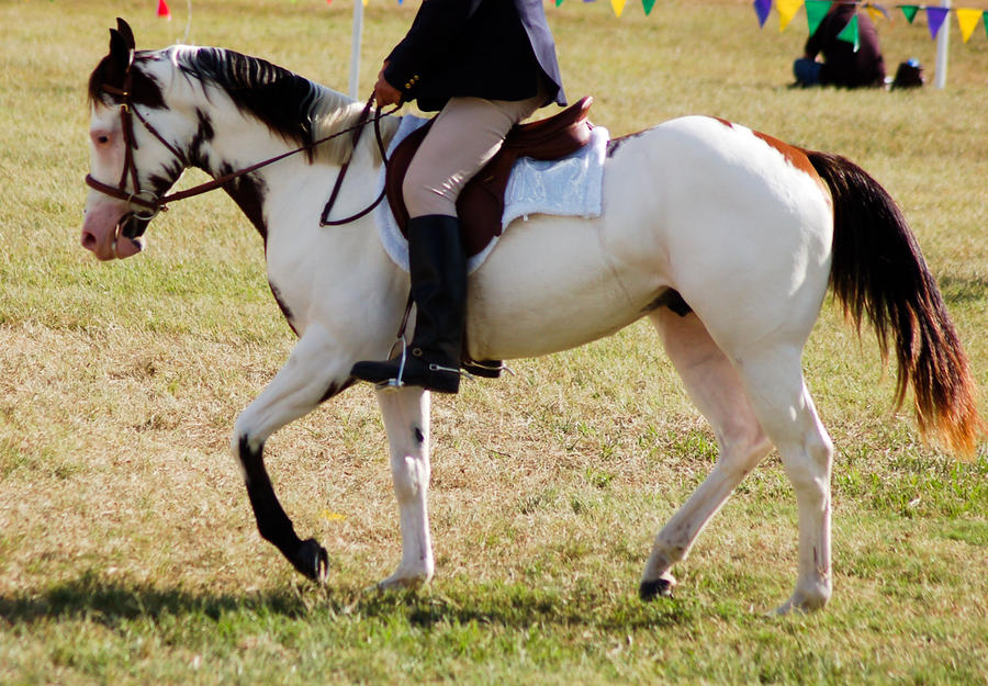 Paint ridden trot side on by Chunga-Stock