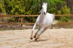 Arab gallop turn