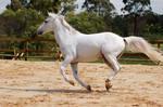 Arab side on gallop
