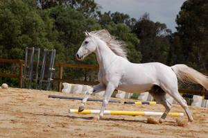 Arabian cantering to left mane