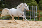 Arabian tail splayed canter